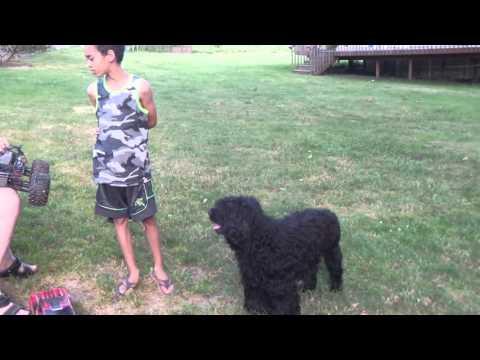 Portuguese water dog exercise