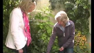 видео Cornus alba Aurea