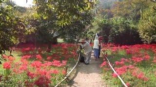 彼岸花が満開に咲き誇る、広島県三次市の群生地の様子。http://tabetain...