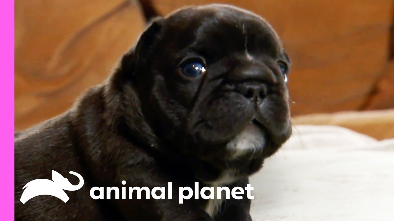 Adventurous French Bulldog Pups Can Get Up To All Sorts Of Mischief