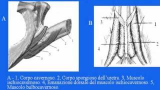 Repeat youtube video Erezione pene-Anatomia e fisiologia sessuale maschile-Orgasmo-Fare l'Amore-Video anche per le Scuole