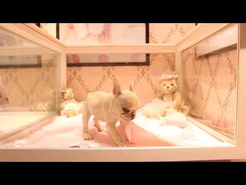Cream Frenchie Puppies - We Ship and Finance Call Today