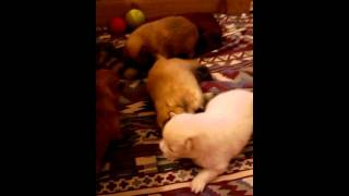 Pomeranian Puppies Brisbane
