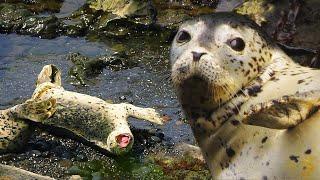 Тюлень пёстрый или ларга - жизнь на Курильских островах   Film Studio Aves