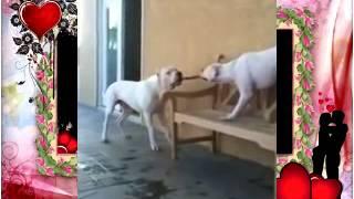 Собачьи бои Американский бульдог против Dodo argentino перетягивание канатов