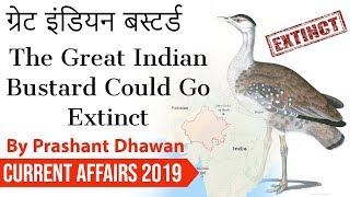 The Great Indian Bustard Could Go Extinct ग्रेट इंडियन बस्टर्ड Current Affairs 2019