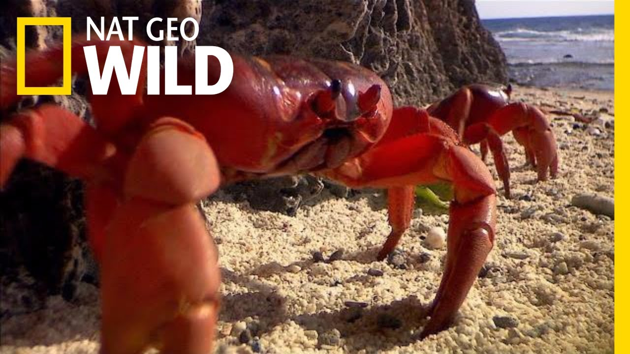Christmas Island Crabs.Millions Of Red Crabs Swarm Christmas Island Every Year Nat Geo Wild