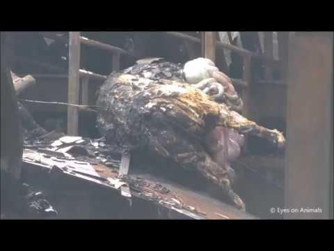 Brand varkensbedrijf de Knorhof te Erichem Juli 2017 (schokkende beelden)