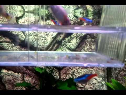 Acquario pesci tropicali dolce parto guppy youtube for Acquario pesci tropicali