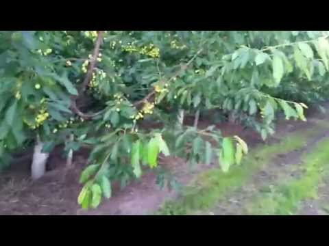 Orchard under Advancing Eco Agriculture program management