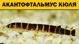 АКАНТОФТАЛЬМУС КЮЛЯ (вьюн) Аквариумные рыбки, Acanthophthalmus kuhli