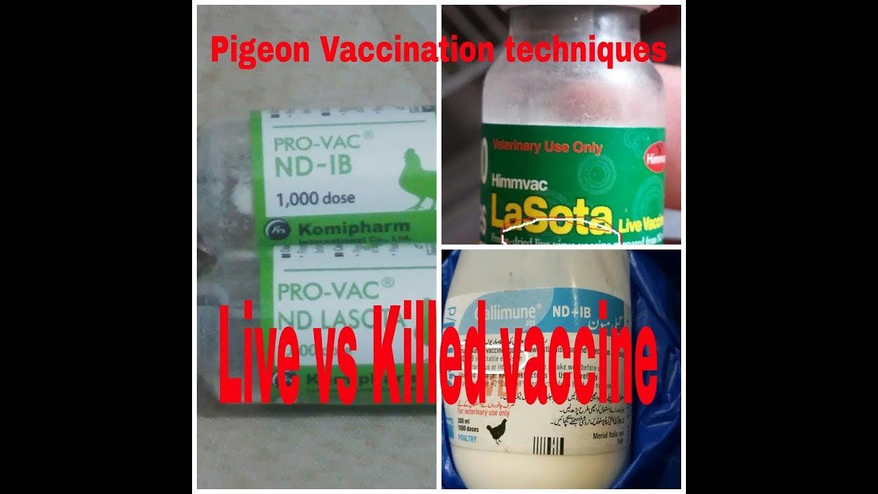 Tanz Loft|کبوتر کی ویکسین |Understand Pigeon Vaccination