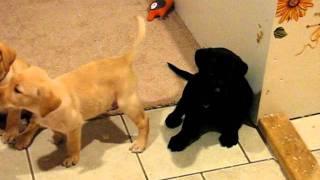 Black Male Labrador Retriever 7 Weeks 3 Days