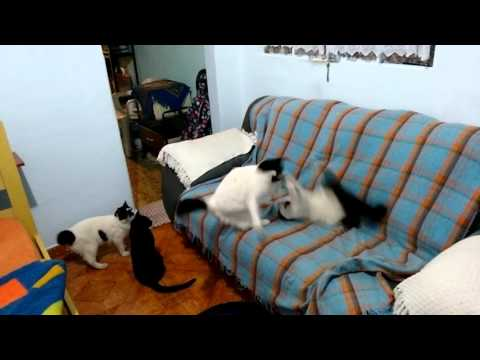 Cats fighting in the living room