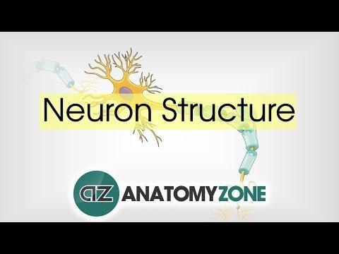 Neuron Structure - Neuroanatomy Basics - Anatomy Tutorial