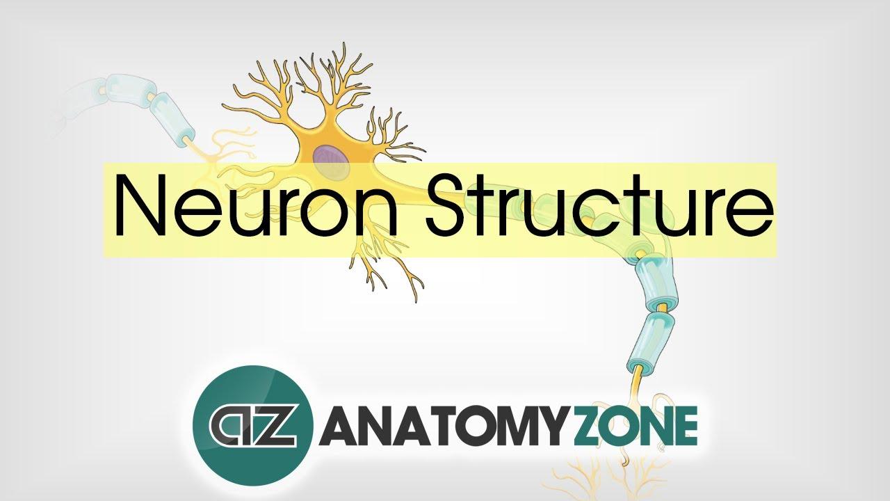 Neuron Structure - Neuroanatomy Basics - Anatomy Tutorial - YouTube