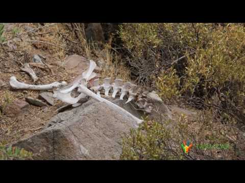 Taruka, the endangered deer of Northern Chile // TARUKARI