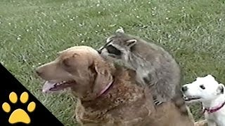 Friendly Raccoon And Dogs Are Best Friends