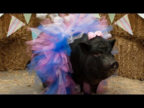 Once-Abused Pig Hams It Up For Maternity Photos Before Giving Birth To Piglets