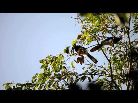 Oriental pied hornbill, Khao Yai National Park