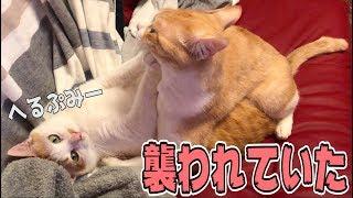 猫同士の争いに飼い主は介入することはできないのだ(動画撮らなきゃ・・...