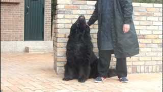 I tried playing with the Newfoundland-dog またまたニューファンドラ...