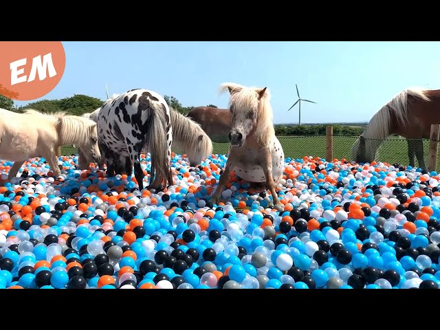 BALL POOL Surprise for my 11 Miniature PONIES!  30,000 BALLS