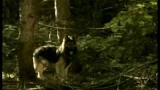 Northern Passage (Bari or Baree) Dog Movie starring a Shiloh Shepherd