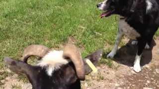 スイスLangwies田舎村にて。 B&Bに飼われてる犬が、飼育されてる山羊を...