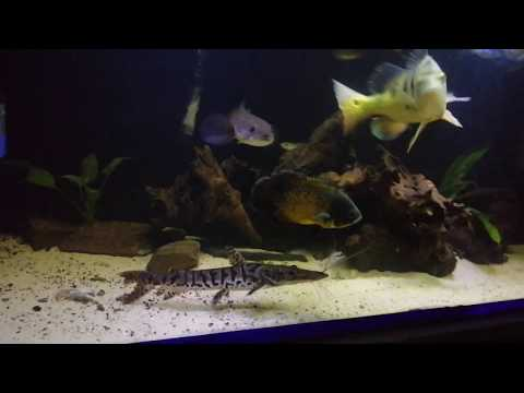 Getting New Monster Fish (Oscar And Tiger Shovelnose Catfish)