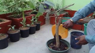 48# Bonsai basic /How to grow Bonsai tree in INDIA