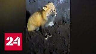 В Лесосибирске лиса приходит к одной из котельных повидать бульдозериста - Россия 24