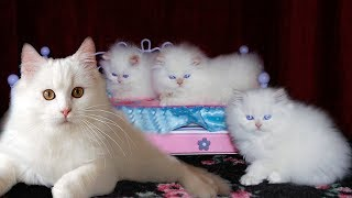 Persian Cat gives birth to many cute meowing kittens- Newborn kitten nursing
