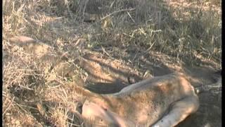 Lion vs Warthog, struggle to death.