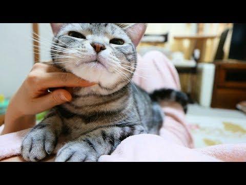 ゴロゴロ音全開でスリスリ 抱きついて甘える猫