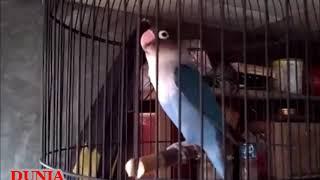 Gambar cover Love bird biru  fighter ngekek panjang