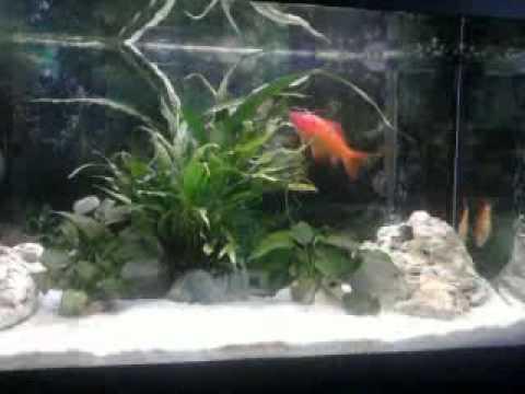 Acquario 120l con pesci rossi carassius e piante e for Pesci rossi acquario