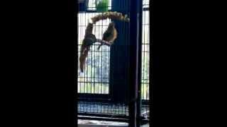 Siskin/Canary Hybrid