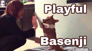 Playful Basenji