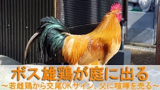 """2018年2月初旬。 この日、庭でボス役を務めるのは雄鶏""""夏""""です。 夏と交..."""
