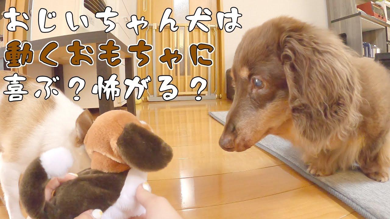 動くものが大好きなおじいちゃん犬に歩く犬のおもちゃ見せてみたw