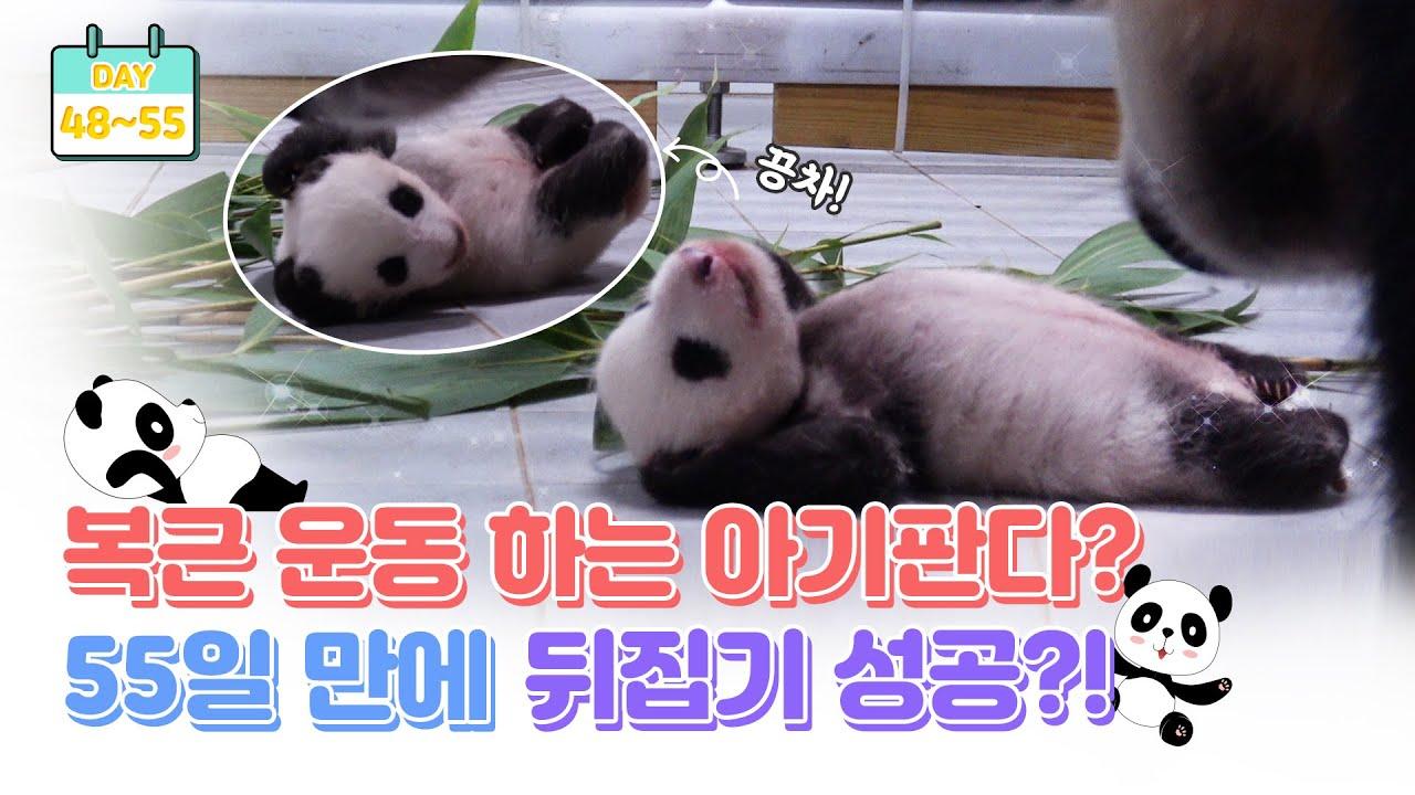 [판다로그] 생후 55일만에 뒤집기 성공? 폭풍성장 아기판다 | 에버랜드 판다월드 (Baby Panda)