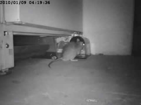 Электронная автоматизированная крысоловка