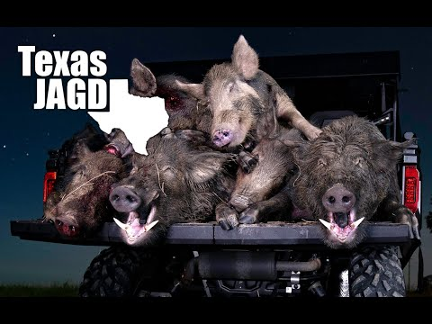 Boars With Cutters | Polaris Ranger Over Weight Limit | Texas Hog Hunting