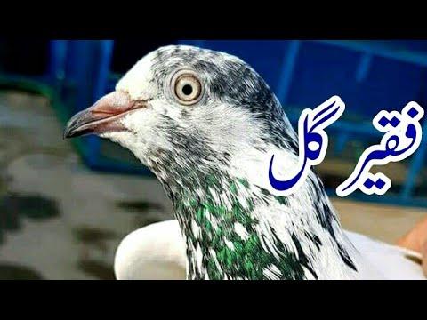 Faqir gul pigeons