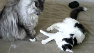 Мейн-кун против домашней кошки(Мутузят друг друга., 2013-02-08T11:19:25.000Z)