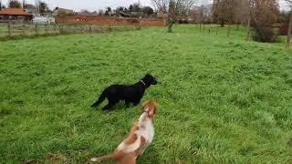 Bonnie, Gordon Setter and Bella 16 month Bracco Italiano hunting pheasant