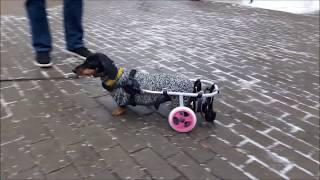 Такса Маргарита в инвалидной коляске Animal Mobile