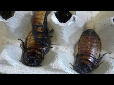 Мадагаскарские шипящие тараканы / Содержание / Описание вида