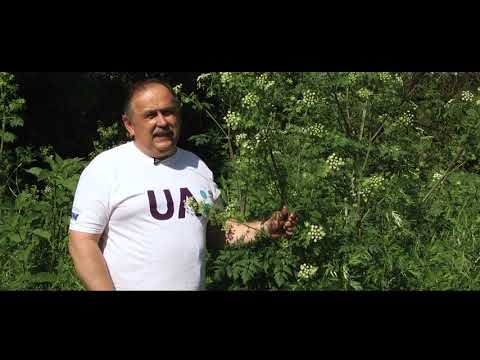 Телеканал UA: Житомир: Болиголов плямистий: користь та небезпека_Ранок на каналі UA: ЖИТОМИР 26.06.19